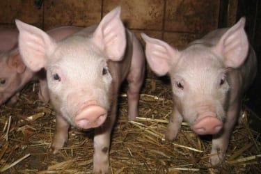 Ferkel im Schweinestall