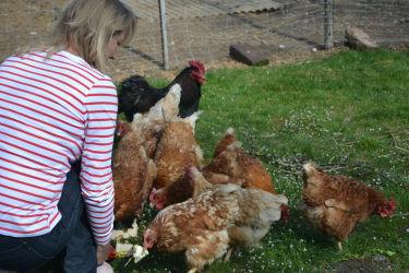 Fütterung der hühner