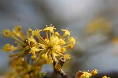 Dirndlblüten die ersten Frühlingsboten im hellen leuchtenden Gelb