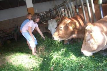 Zwergerlhof - Stier Harry Potter ist mit einem Teil seiner Kühe im Sommer auf der Alm, ein paar Kühe mit Kälbchen bleiben zuhause