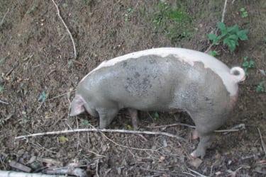 Zwergerlhof - Bei den nächsten Bildern machen wir einen Ausflug mit unserem Schweinderl. Hier hat er gerade eine Gatschlacke gefunden