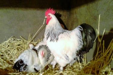 Vorderbichl - Hühner der Rasse Sundheimer - unsere fleissigen Eierlieferanten