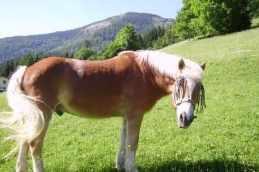 Pferd Aron