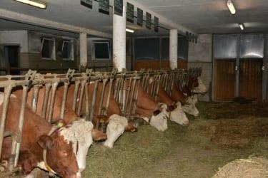 Unsere Milchkühe