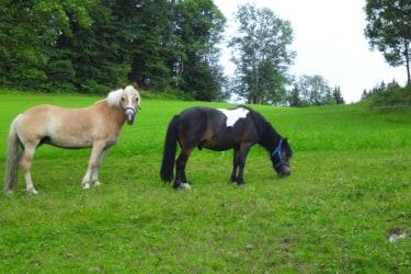 Ferienhaus Zwickelreith - Pferde auf der Weide