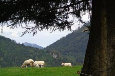 Schafweide1