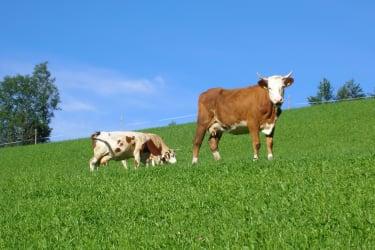 Biohof Teufel - Unsere Kühe Nora und Schnecke auf der Weide. (Quelle: Teufel Barbara)