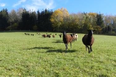 Schafe auf der saftigen Weide