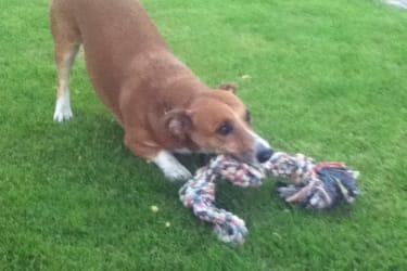 Wachhund Bello