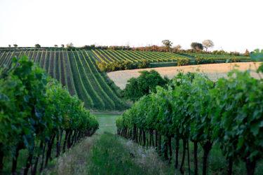 Sommerliche Weingärten Abendstimmung