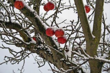 Apfelbaum im Winter (Foto: Familie Breitner)