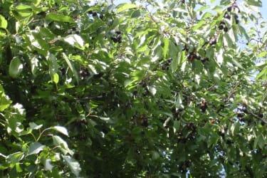 Kirschen zum selber pflücken im Juli