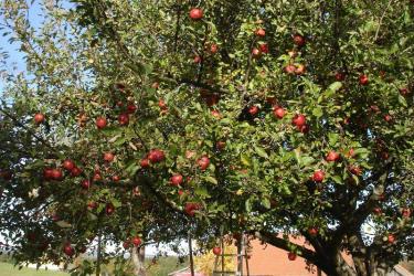 Frischen Apfelsaft bieten wir ab September unseren Gästen aus dem Hausgarten an.