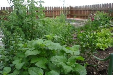 Kraeter aus dem eigenen Garten für Ihre koestlichen Gerichte