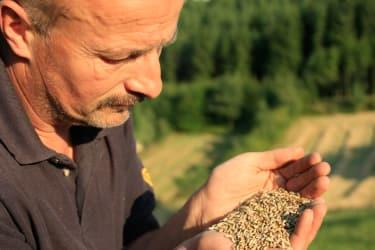 Biohof Besenbäck - Fritz begutachtet das Getreide
