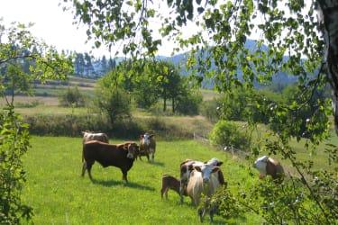 Bauer Hermann setzt auf natürliche Rinderhaltung