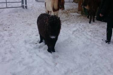 Minishetty Moritz im Schnee