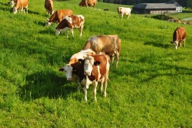 Die Kühe grasen von Mai-September auf der Weide rund um den Bauernhof.