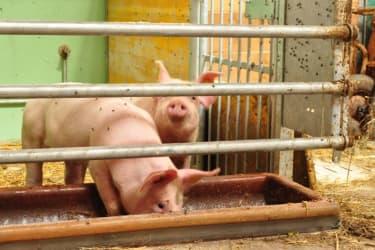 Die kleinen Schweine im neuen Stall