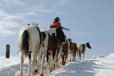 Pferde beim Eintreiben