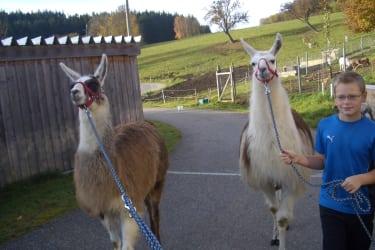 Spazieren mit den Lamas