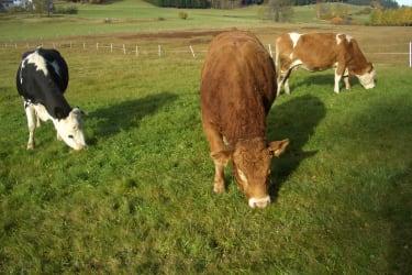 Mutterkühe auf der Weide
