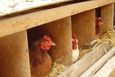 Hühner beim Eierlegen