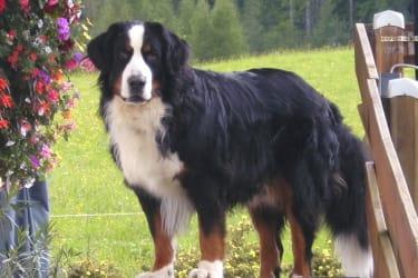 Max-Berner Sennenhund