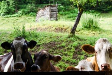 die Kühe sind neugierige Tiere