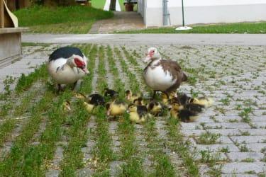 Die Entenfamilie macht einen Spaziergang