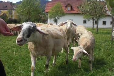 Unsere Schafe sind sehr zahm