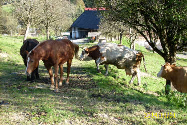 Rinder und Pferde auf unseren Hof