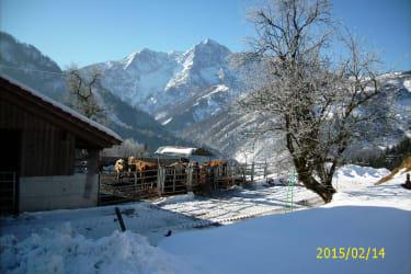 Kühe im Winter