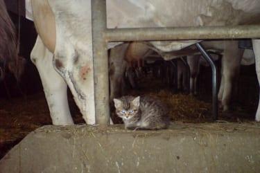 Kätzchen mit Kühe