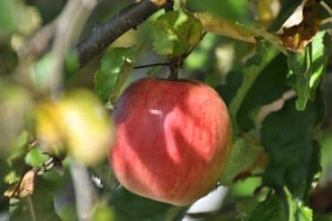 Saftige Äpfel am Baum