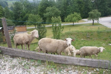 unsere Schafe auf der Sommerweide