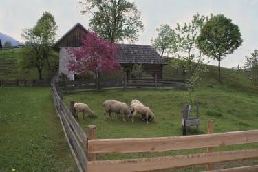 unsere Schafe auf der Hofweide