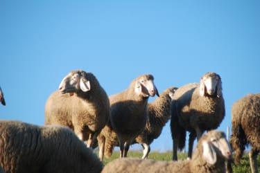 Unsere Schafe auf der Weide
