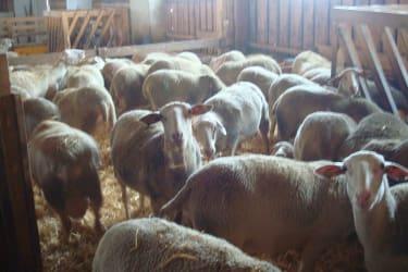 Im Schafstell
