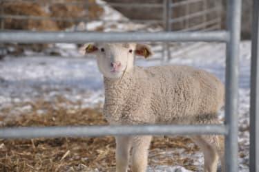 Lamm mit Schneenase