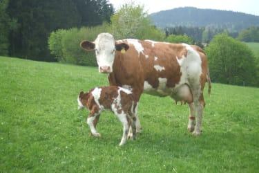 Kuh mit Kälbchen