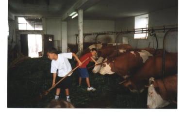 Hilf mit beim Kühefüttern