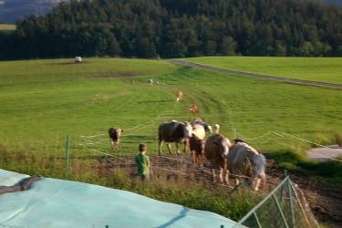 Kühe heimtreiben