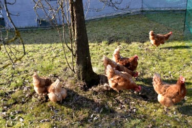 Fleissige Hühner