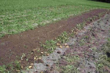 Erdäpfel auf dem Feld