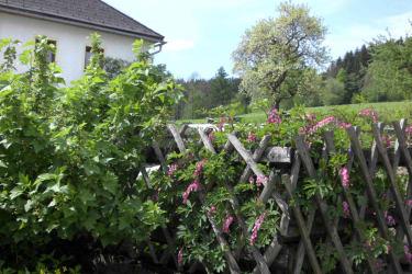 Die Herzl-Staude blüht - das erste Gemüse kann im Hausgarten geerntet werden