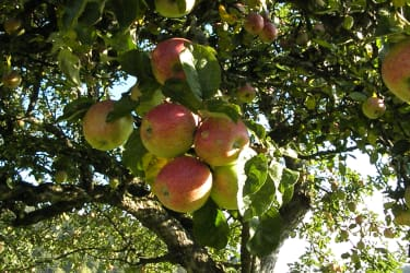 köstliche Äpfel