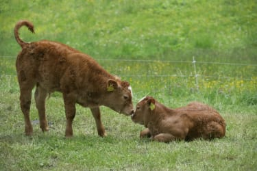 Die Kälbchen genießen die frische Luft auf der Weide - Biohof Schafflhof