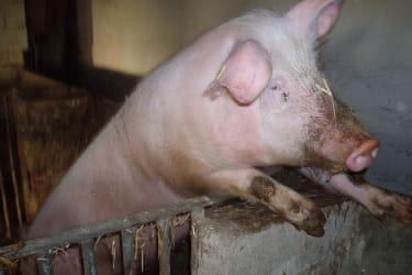 Schwein Ferdinand