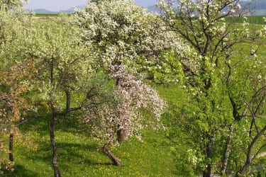 Frühjahr im Obstgarten